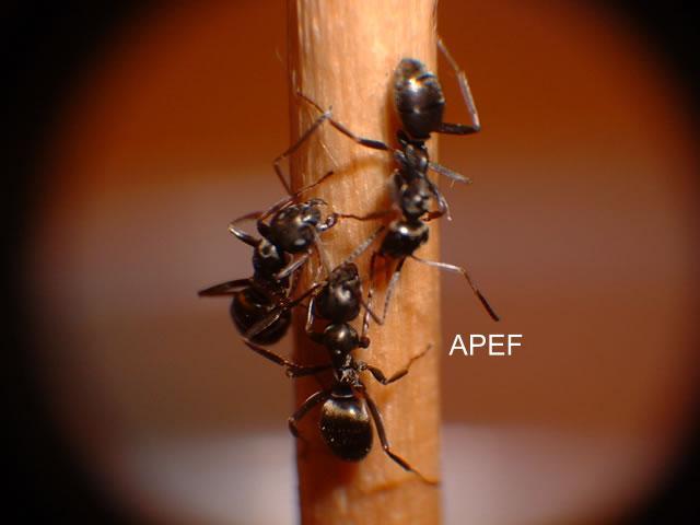 guides des fourmis de france apef. Black Bedroom Furniture Sets. Home Design Ideas