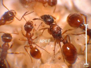 apef etude et elevage des fourmis myrmica rubra. Black Bedroom Furniture Sets. Home Design Ideas